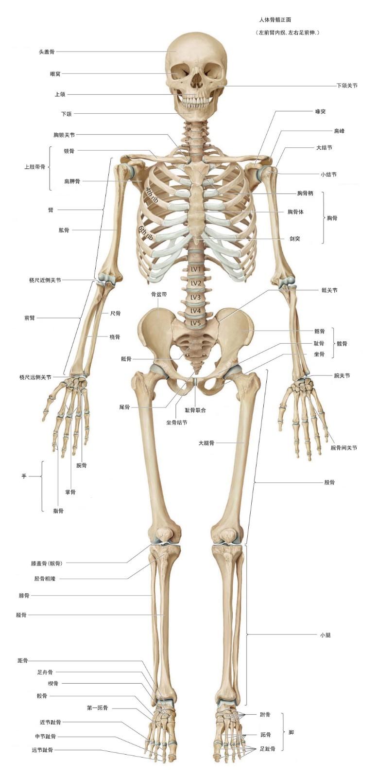 中年男性人体骨骼正面图